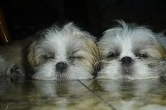 What snoozing Shih Tzus cuties!