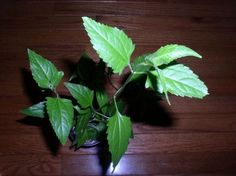 20 Calea Zacatechichi Seeds Mexican Dream Herb 1 Seed Pod Lucid Dreaming Plant   eBay