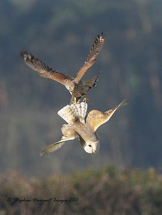 Kestrel vs Barn Owl