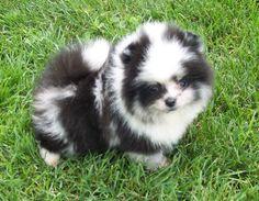 Perfect puppy #pomeranian #puppy