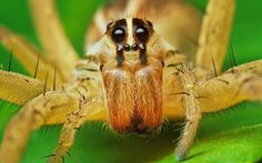Wolf Spider Comparison Chart with Nursery Web Spider and Brown Recluse Spider URL: http://wolfspider.org/