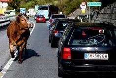 Ungewöhnlicher Verkehrsteilnehmer: Zumindest ein bisschen Unterhaltung gab es für jene Autofahrer, die am Freitag, 24. April 2015, auf der B 145 nahe Bad Ischl im Stau standen, weil ein Tiertransporter umgekippt war und aufwendig geborgen werden musste. Eines der Rinder hatte sich unter die Verkehrsteilnehmer gemischt und lugte neugierig in die stehenden Autos. Mehr Bilder des Tages auf: http://www.nachrichten.at/nachrichten/bilder_des_tages/ (Bild: Weihbold)