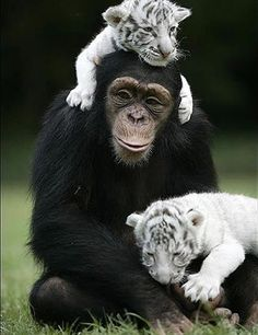 unusual-animal-friendships- - Anjana the Chimp and the two white tiger cubs Unusual Animal Friendships, Unlikely Animal Friends, Unusual Animals, Animals Beautiful, Exotic Animals, True Friendships, Animals And Pets, Baby Animals, Funny Animals