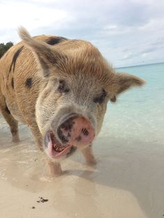 Please help spread the word to let people know that Pig Island is no paradise for the pigs, but rather a tourist attraction not a whole lot different from Sea World or the Zoo. Instead of planning … Pig Island, Pig Beach, Animals And Pets, Cute Animals, Swimming Pigs, Exuma Bahamas, Holidays Around The World, Sea World, Cute Creatures