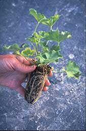 Den rimeligste måten å handle planter på. Se pluggsalg på www.blomste-svein.com Plantene kan sendes i postverkets minikartong over hele landet... Blomster og grønnsaks-planter.