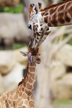 Bouncing baby giraffe already stands 6 feet tall - Animal Tracks