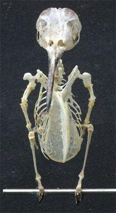 Ruby-throated hummingbird skeleton!