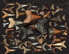 fossil shark teetj | NJ Fossil Shark Teeth | Flickr - Photo Sharing!