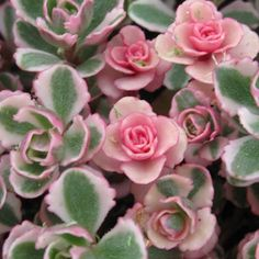 Stonecrop (Sedum spurium 'Tricolor') Small green leaves mottled with pink and creamy white. Clusters of pale pink flowers in summer. Butterflies love this creaping variety. Sun, zones 3-8