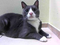 """CAPPY - A1034899 - - Brooklyn *** TO BE DESTROYED 05/27/15 *** CAPPY IS A CHUBSTER WHO WANTS A NEW HOME…..CAPPY'S old owner had """"NO TIME"""" for him and apparently no time to tell us about him. Despite that, CAPPY is a friendly guy who likes to be pet but reserves the right not to be picked up. He is growing grumpy at the ACC (he's been there since May 1st!) and really wants a place of his own again. IF YOU CAN OFFER TO FOSTER OR ADOPT CAPPY"""