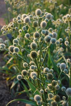 Rattlesnake Master (Eryngium yuccifolium) : Prairie Nursery : Native Plants - Another! Herbaceous Perennials, Deer Resistant Plants, Plants, Native Plants, Perennials, Native Garden, Prairie Planting, Yucca Plant, Native Plant Gardening