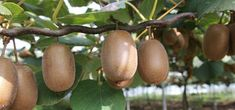 Le kiwi est facile à cultiver au jardin : découvrez nos conseils pour choisir la bonne variété (mâle ou femelle), le planter, le palisser et le soigner.