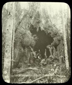 """Gum Tree on the estate MR. Clennett Saw Mill Proprietor, Port Esperance"". ""Interior 20 x 25 feet"" Natural World, Natural History, Vintage Photographs, Vintage Photos, Vintage Humor, Funny Vintage, Creepy Photos, Australian Art, Conceptual Art"