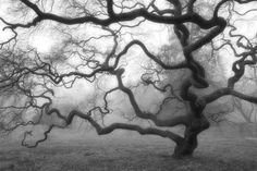 Nature Photography - Winter Tree - Black and White Photograph - Fog - Mist - Landscape - Japanese Maple Tree - Zen - Home Decor - 8X12