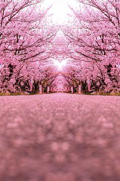 SAKURA STREET by Black Jack1977 on 500px. #桜 #CherryBlossom