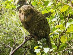 Kakapo - Lisa One