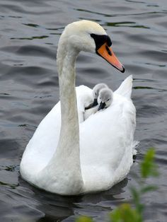 Free Jigsaw Puzzles Online - SWAN  #Game #JigsawPuzzle #Puzzle