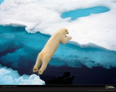 Polar bear taking a leap :) National Geographic photo