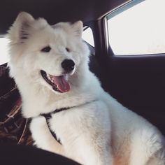 #North #puppy #samoyed #white #самоед