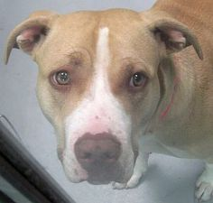 *KARMA-ID#A702863    Shelter staff named me KARMA.    I am a female, tan and white Pit Bull Terrier.    The shelter staff think I am about 1 year old.    I have been at the shelter since Mar 05, 2013.