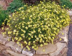 Coreopsis Moonbeam.jpg