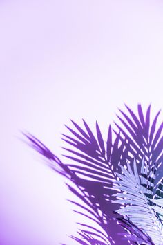 Palm leaves shadow isolated on purple background Photo