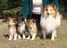 Shy pups with their mom! #dogs #pets #Shelties #puppies  Facebook.com/sodoggonefunny