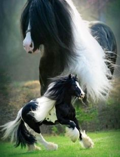 AWESOME- Gypsy Vanner!!!!