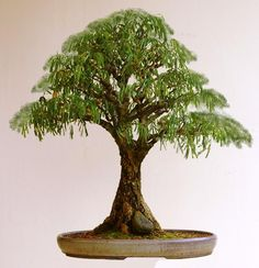 Acacia, a stunning specimen Bonsai. Who owns this upright art?