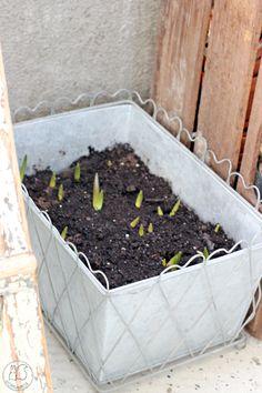 Oravanpesä | Kasvitieteellinen tulppaani Tulipa tarda dasystemon