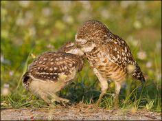 Owls kissing