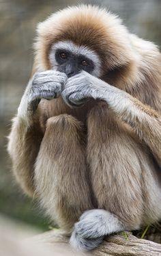 animals-animals-animals: Gibbon (by Tambako the Jaguar)