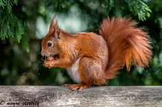 All sizes   A52 Red Squirrels   Flickr - Photo Sharing!
