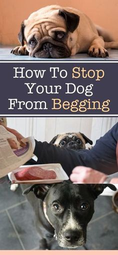 How To Stop Your Dog From Begging ►► via @KaufmannsPuppy
