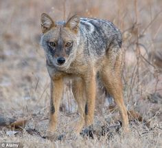"""Egyptian """"jackal"""" is in fact a grey wolf sub-species."""