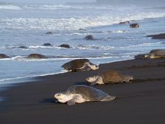 Guanacaste Turtle Nesting Tour takes you to two different places where you will be witness of the amazing turtle arrivals and nesting is Costa Rica...