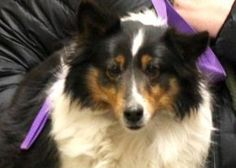 Adopt Minnie, a lovely 8 years  2 months Dog available for adoption at Petango.com.  Minnie is a Shetland Sheepdog and is available at the National Mill Dog Rescue in Colorado Springs, CO.  www.milldogrescue.org  #adoptdontshop  #rescue  #adoptyourfriendtoday