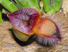 A macro photograph of a Stapelia hirsuta flower bud opening