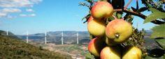 Ősi magyar gyümölcsfajták, amelyeket tilos forgalmazni