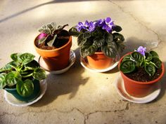 Beautiful Indoor House Plants for Your Home: African violet Indoor House Plant