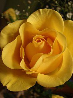 Gorgeous Golden Yellow Rose