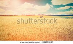 Find wheat field stock images in HD and millions of other royalty-free stock photos, illustrations and vectors in the Shutterstock collection. Thousands of new, high-quality pictures added every day. Wheat Fields, Vectors, Royalty Free Stock Photos, Illustration, Pictures, Image, Photos, Illustrations, Drawings