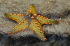The starfish (commonly as a sea star) is generally found with 5 arms that are attached to a central disc. This central disc is the activity center of the starfish and also contains the mouth of the starfish. The starfish feeds on oysters and clams, the Beautiful Sea Creatures, Animals Beautiful, Starfish Species, Life Under The Sea, Sea Slug, Underwater Life, Ocean Creatures, Underwater Creatures, Starfish