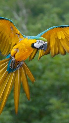 ♥ Blue and Gold Macaw