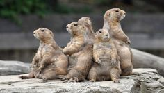 Marmots basking in the sun
