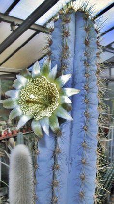 Pilosocereus azureus Flowers Nature, Exotic Flowers, White Flowers, Beautiful Flowers, Cacti And Succulents, Planting Succulents, Planting Flowers, Agaves, Cactus E Suculentas