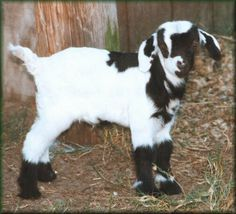 Goats! okay not a huge goat fan but how the heck do you not love him