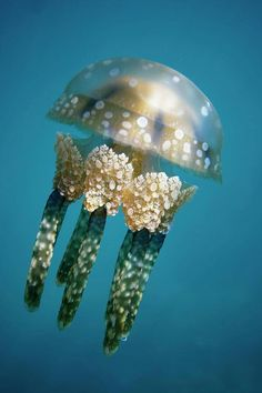 The spotted jelly, lagoon jelly, golden medusa, or Papuan jellyfish, is a species of jellyfish from the Indo-Pacific oceans. Underwater Creatures, Underwater Life, Ocean Creatures, Beautiful Sea Creatures, Animals Beautiful, Fauna Marina, Water Animals, Baby Animals, Life Aquatic