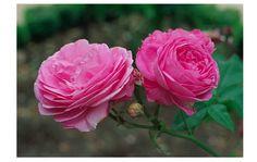 louis odier rose