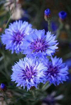 Corn Flower / Bachelor's Button: (Centaurea cyanus) Family: Asteraceae